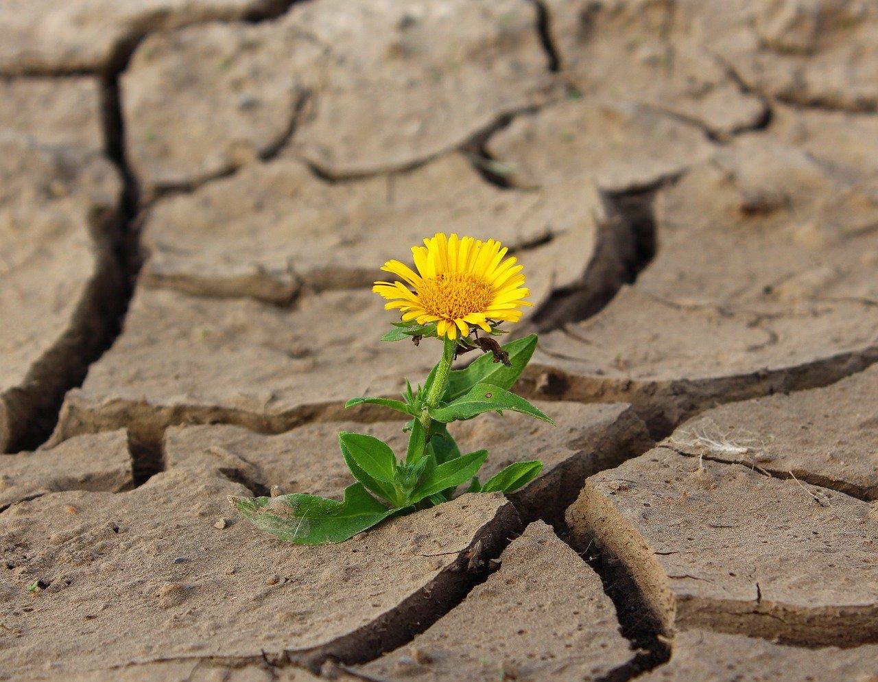 dandelion growing where ever it lands